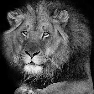Lion Fade5 sharp 40% bw.jpg