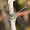 Green-eyed Hook-tailed Dragonfly
