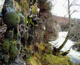 Photo: Amphidium mougeotii - thick green cushions occur on damp vertical rock faces throughout Scotland