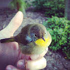 Common Yellow Throat (Immature Male)