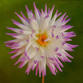 Purple tipped flower by Jim Downey - Flowers Single Flower ( gold, green, white, petal tip, purple )