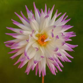 Purple tipped flower by Jim Downey - Flowers Single Flower ( gold, green, white, petal tip, purple )