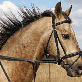 Portrait of a riding horse by Annalie Coetzer - Animals Horses ( pony, equine, horse, equestrian, mammal, portrait, animal,  )