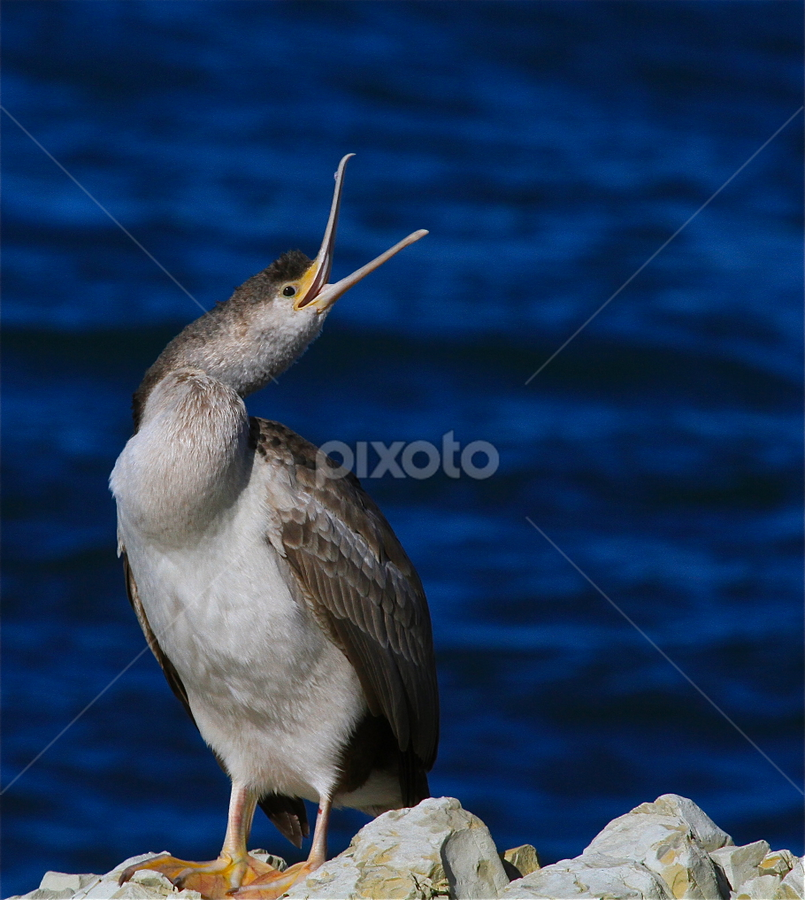 Kaikoura Shag by John Dutton - Animals Birds