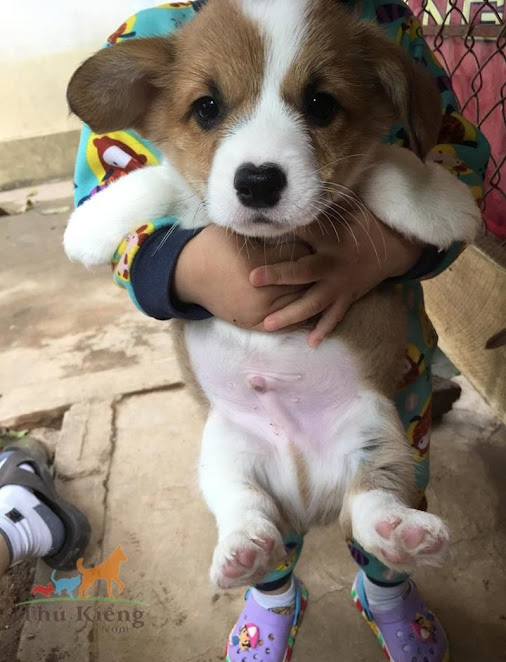 Bán chó Corgi chân ngắn tháng 1-2018 - Trả Góp Lãi Suất 0%