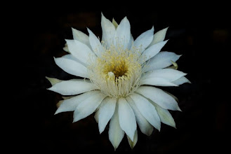 "Photo: ""Queen of the Night"" - night blooming cactus  Saija Lehtonen Photography  #FloralFriday #Floral #Flower #Nature #Photography #FineArt"