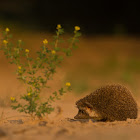Indian Hedgehog