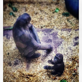 Baby gorilla by Meggie Arkell - Novices Only Wildlife