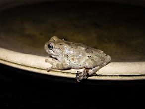 Photo: Backyard Grey Treefrog