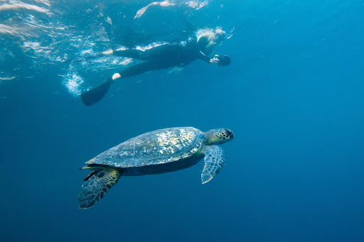 sea-turtle-galapagos.jpg - A photographer gets a clear view of a sea turtle in the Galapagos.