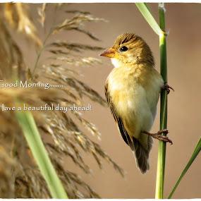 Good Morning... by Akbar Ali Asif - Typography Captioned Photos ( baya weaver, birds of pakistan, nature, morning light, good morning, captioned photos, birds, captioned )