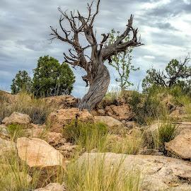 Gnarly by Jim Talbert - Nature Up Close Trees & Bushes ( hdr, tree, nature, utah, landscapes, landscape,  )