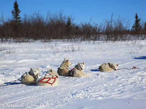 Arctic Canada Inuvik Winter Camping Tundra Dog Sledding // Dogs resting during lunch break