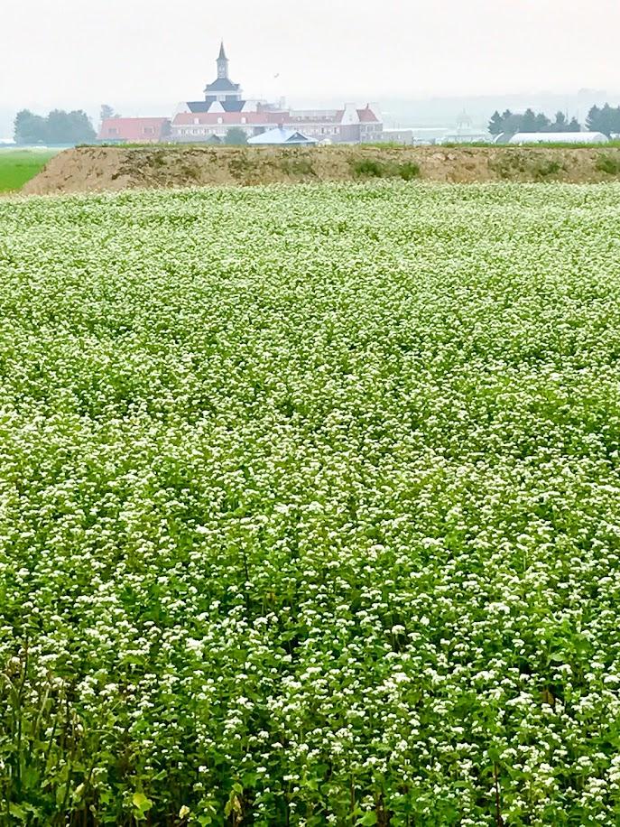白い花咲く蕎麦畑(撮影:阿部)