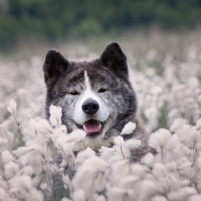 Artoszek by Magdalena Sikora - Animals - Dogs Portraits ( brindle akita, brindle dog, dog portait, akita inu, akita in flowers )