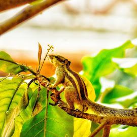 Squirrel 💟 by OM Rane - Animals Other ( #nikon #nikonindia #nikonoffical #squirrel #summers )