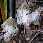 Veiled Lady Mushroom, Stinkhorn