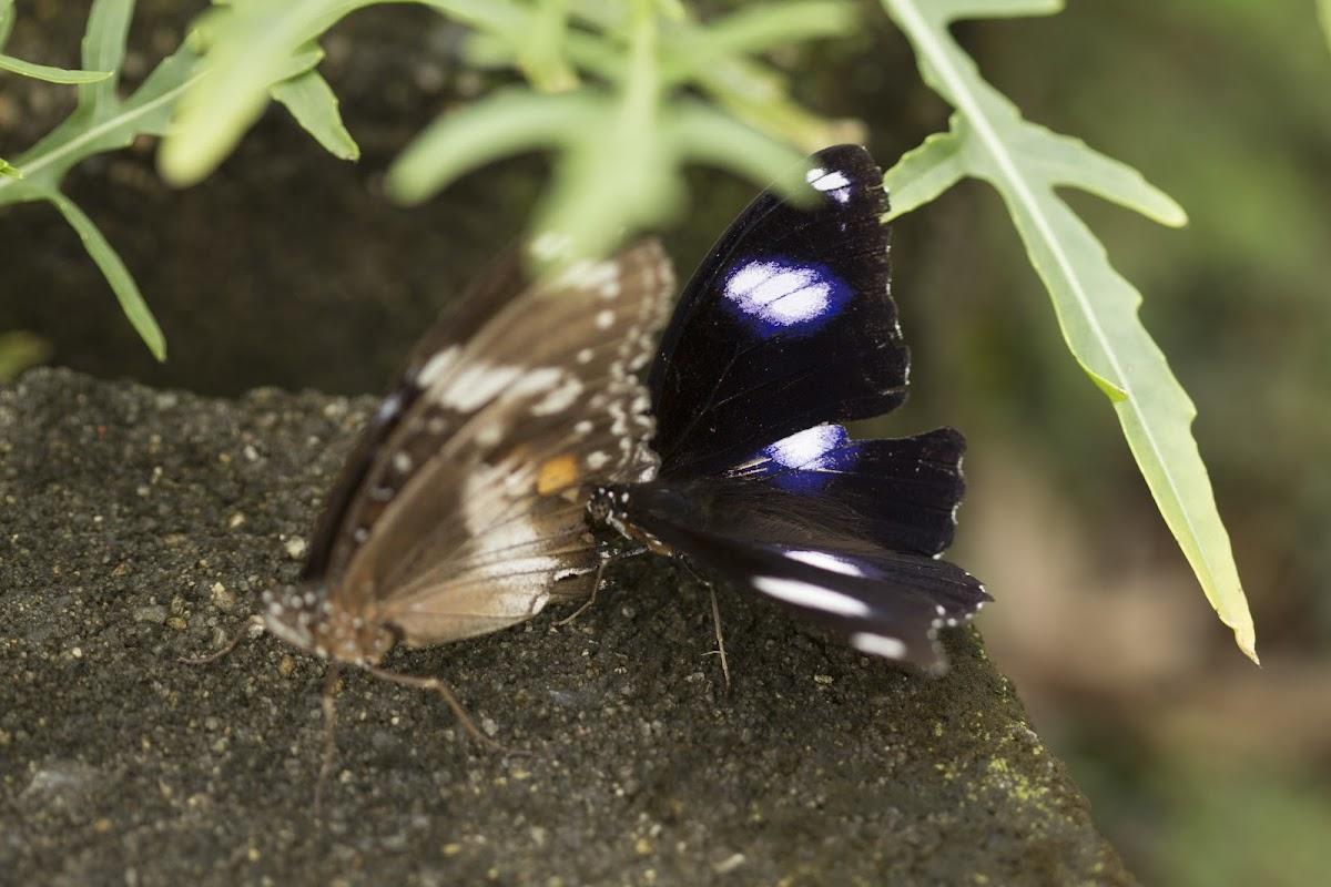 Varied Eggfly