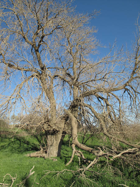 Photo: The old mulberry tree of Khanileh