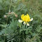 Meadow Lotus