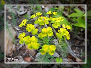 Photo: Euphorbe petit cyprès, Euphorbia cyparissias