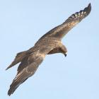 Black Kite or Pariah kite In Flight