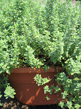 Photo: English Thyme. Photo credit Log House Plants