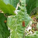 Squash beetle
