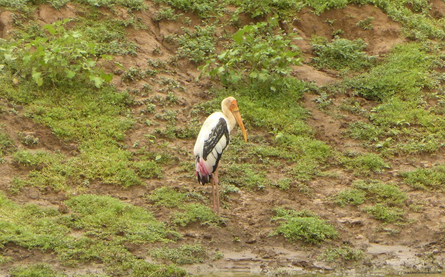 Painted Stork, Uda Walawe, Sri Lanka