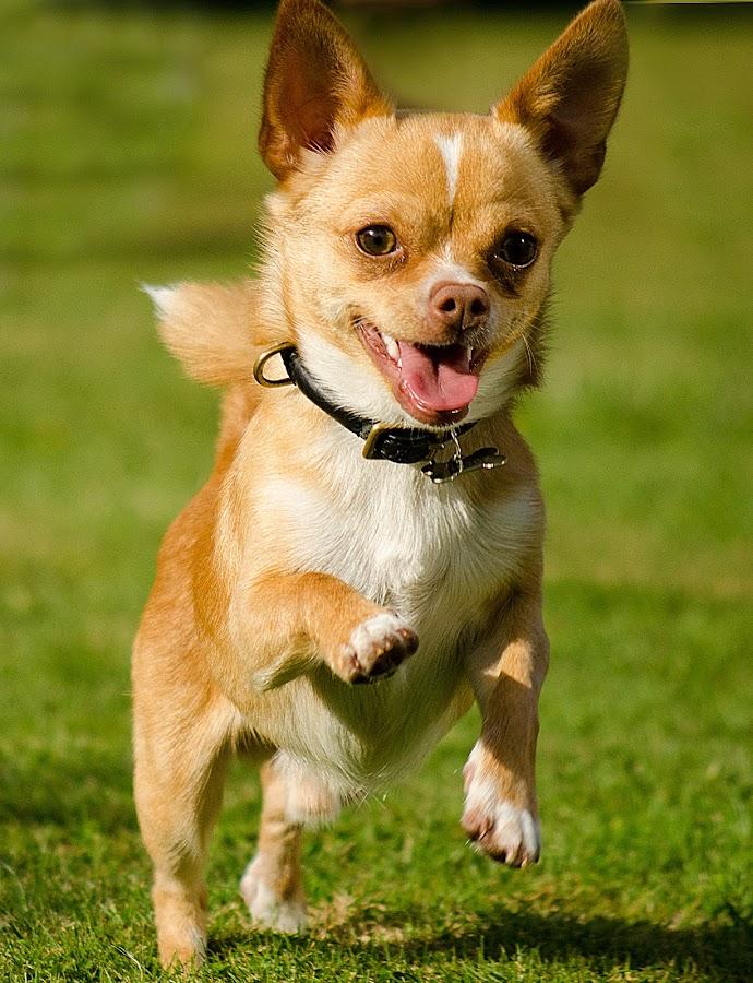 Viktor by Kim  Schou - Animals - Dogs Portraits ( kim schou, viktor, chi-hua-hua, pwc84, Dogs, Cats, Pets, Rabbits, Animals, pet, livestock, cows, , #GARYFONGPETS, #SHOWUSYOURPETS )