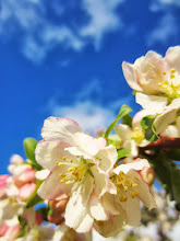 Photo: Beautiful little apple blossoms at Cox Arboretum in Dayton, Ohio.