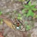 Black-striped Orchard Spider