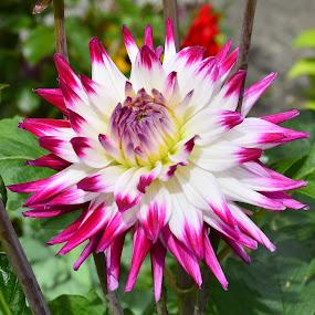 petal poser  by Eloise Rawling - Flowers Single Flower ( single flower, flower photography, flower,  )