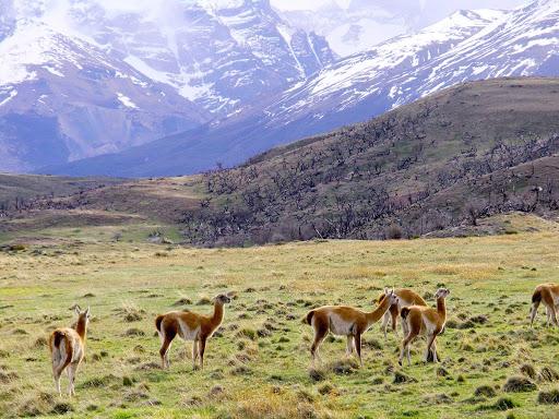 Guanaco, Wild relatives of the llama, in Patagonia.