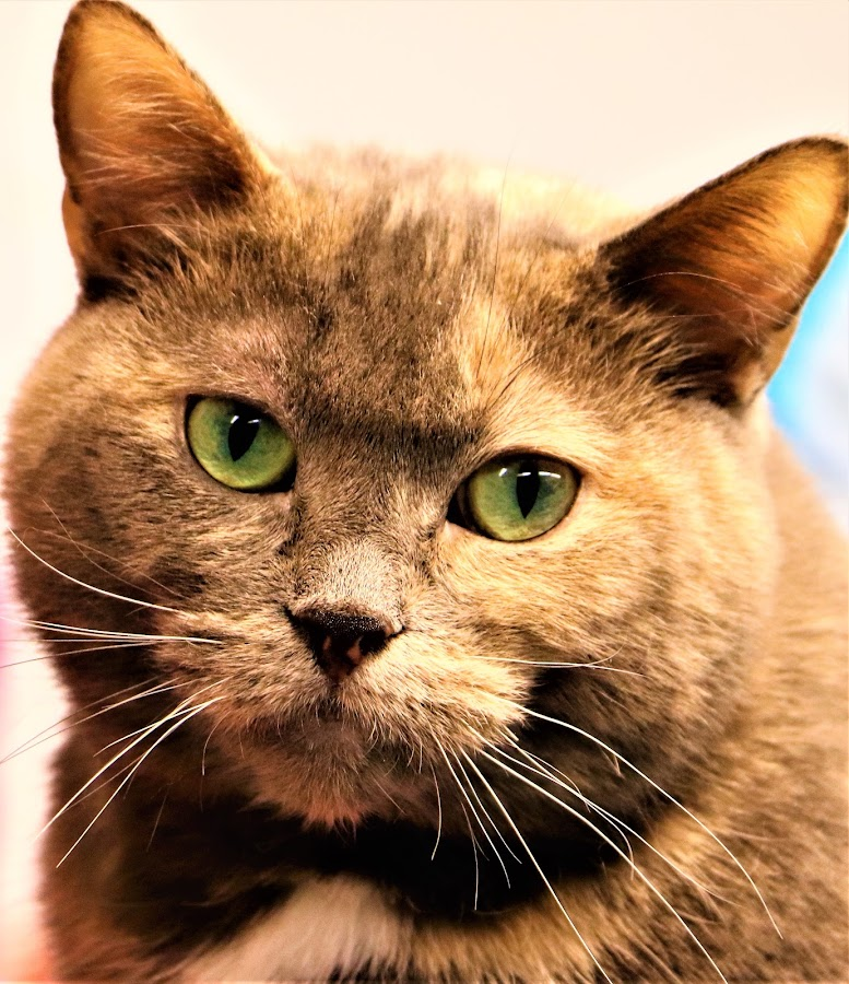 Smudge by Linda    L Tatler - Animals - Cats Portraits ( feline, rescue cat, cat, shelter cat, torti tabby, pet,  )