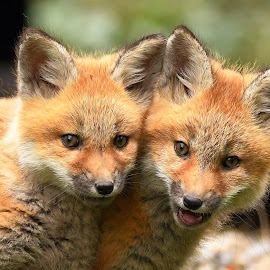Fox kits by Steven Liffmann - Animals Other Mammals