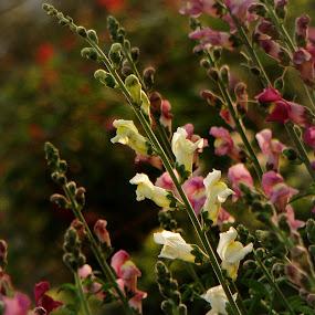 pink to white by Sayan Basu - City,  Street & Park  City Parks ( garden, flower )