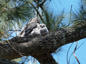 Photo: Tawny Frogmouth on nest with 2 chicks