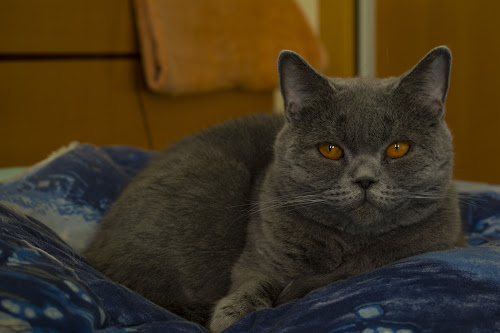 Nicki by Edu Marques - Animals - Cats Portraits ( cats, cat, cat face, cat eyes, cat portrait, animal )