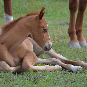 Sweetness by Lyn Daniels - Animals Horses (  )