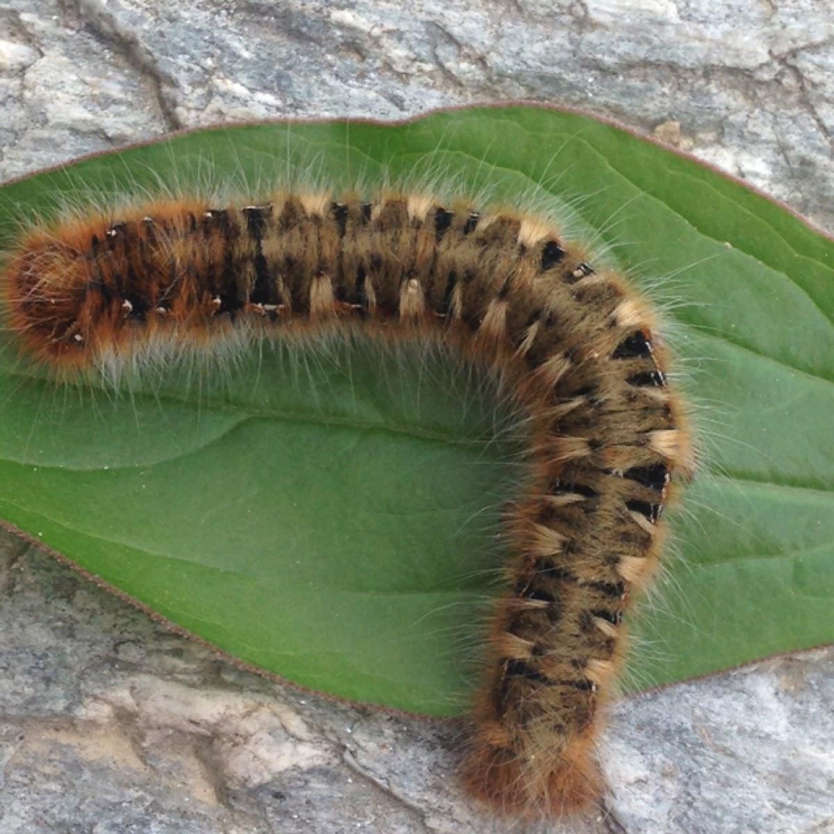 Oak eggar (caterpillar)