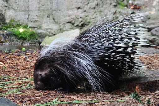 Cute Porcupines Wallpapers