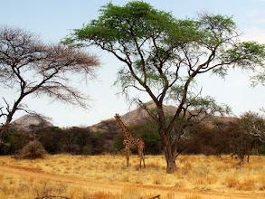 Photo: #009-Girafe (Giraffe) Safari dans Epako