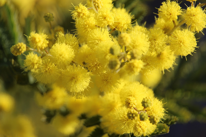 Giallo mimosa di Airan