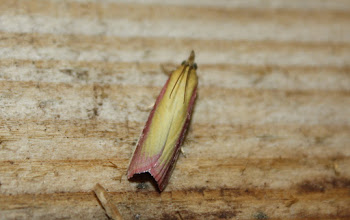 Photo: Oncocera semirubella     Lepidoptera > Pyralidae