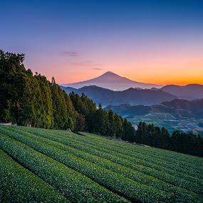 Mt. Fuji with green tea field at sunrise in Shizuoka, Japan. by Nuttawut Uttamaharach - Landscapes Mountains & Hills ( forest, sunrise, city, japan, rural, tourism, mt fuji, scenery, sun, summer, agriculture, beautiful, tea, mountain, japanese, white, plantation, farm, bay, volcano, suruga, nihondaira, sky, harvest, green, nature, asia, mt, leaf, mount, pacific, morning, outdoor, coast, hill, traditional, blue, field, background, plant, sunset, garden, fresh, shizuoka, travel, fuji, landscape )