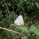 Arawacus mexicana