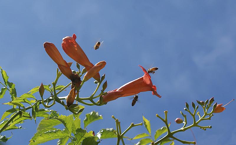 Le api sentinelle dell'ambiente di Amadeus