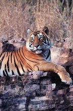 Photo: Chris allowed use of this photo on my book India: The Tiger's Roar