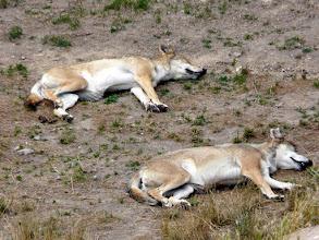 Photo: la sieste des loups